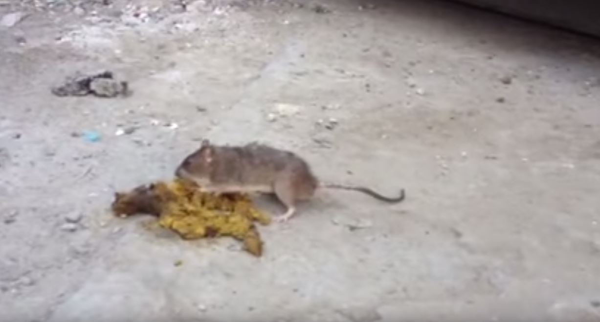 Do Rats Like Dog Poop