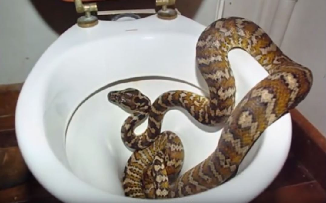 Can Snakes Crawl Up Plumbing Or Toilets