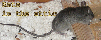 Atticnoises Com What Animal Is Making Noises In Your Attic